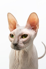 Bold sphinx cat with green eyes close studio portrait