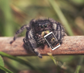 macro of a jumping spider on a stick taking a selfie with a tiny phone