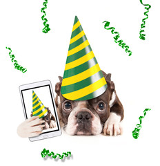 cute baby boston terrier on an isolated white background with a birthday hat on and confetti falling taking a selfie