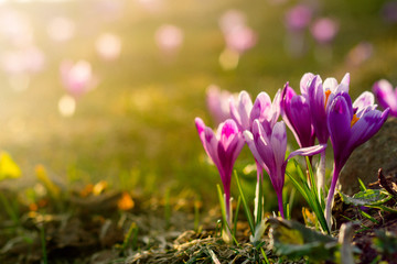 Beautiful first spring flowers. View of close-up blooming violet crocuses. Natural background.