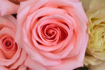 Closeup view of gentle pink rose (background)