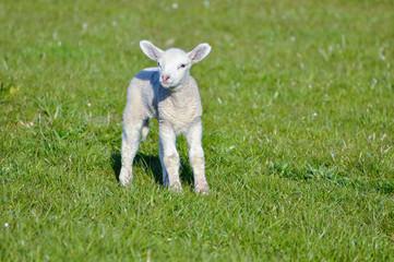 Little lamb on pasture