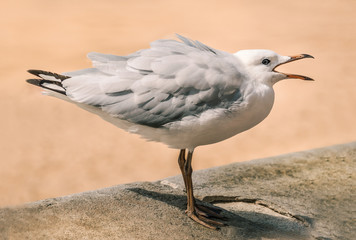 seagull with feathers puffed up and mouth open, Australia