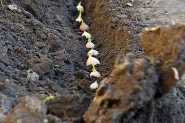 People plant a bulb of garlic in the ground, digging with a shovel.