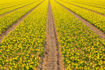 Spring flowers of daffodils. The Netherlands flower industry.