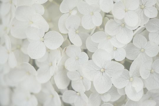 closeup, macro of a flower, white hortensia, hydrangea. tender, bright and light