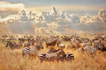 Aluminium Prints Zebra African wild zebras and wildebeest in the African savanna against a background of cumulus thunderclouds and the setting sun. Wild nature of Tanzania. Artistic natural image.