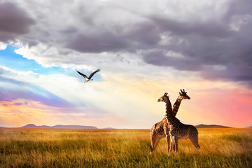 Wall Mural - Group of giraffes and Marabou stork in the Serengeti National Park. Sunset background. Sky with rays of light in the African savannah.
