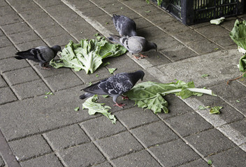 Pigeons in street
