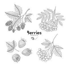 Set of hand drawn berries isolated on white background. Botanical illustration of engraved berry. Viburnum, raspberry, rowan, strawberry. Design for package of health and beauty natural products.