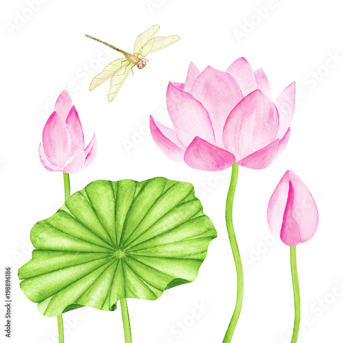 Beautiful Pink Lotus Flowers Watercolor Illustration Pure Water