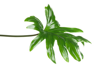 Beautiful tropical Philodendron leaf on white background