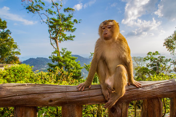 A wild monkey is sitting on the balcony. The monkey looks at the camera. Monkey in the background of mountains.