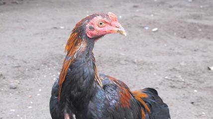 Ayam Kampung, Big Rooster