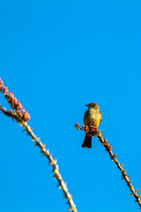 Kingbird, a member of the Tyrant Flycatcher family, perches on an Ocotillo cactus in Organ Pipe Cactu National Monument in Arizona's Sonoran Desert