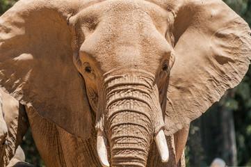 MaMa Elephant Face