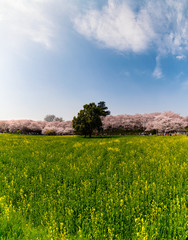 A rape field and cherry trees in full blossom