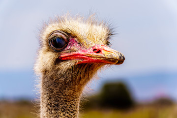 Close up of an Ostrich Head at an Ostrich Farm in Oudtshoorn in the semi desert Little Karoo Region Western Cape Province of South Africa