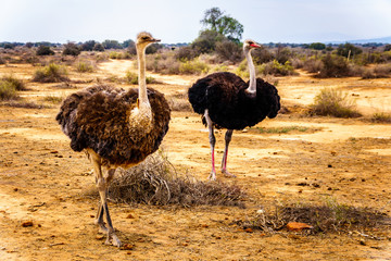 Female Ostrich and Male Ostrich at an Ostrich Farm in Oudtshoorn in the semi desert Little Karoo Region Western Cape Province of South Africa