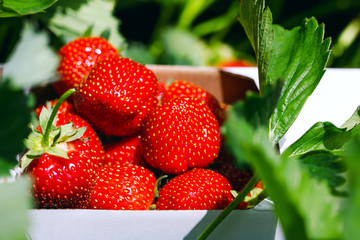 Appetizing and delicious beautiful strawberries. Fresh strawberries. Strawberry on green background. Best red strawberry background. Organic ripe strawberry.