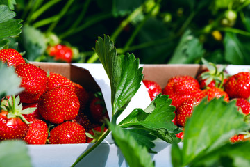 Fresh strawberries. Appetizing and delicious beautiful strawberries. Strawberry on green background. Best red strawberry background. Organic ripe strawberry.