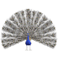 Beautiful Peacock isolated on white, 3d render
