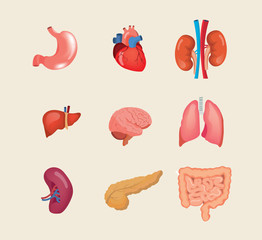 Set realistic human organs. Anatomy body, biology, structure internal organs.