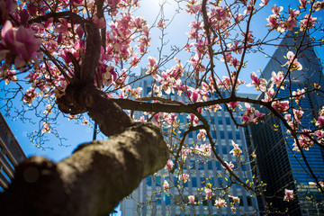Cherry blossom trees bloom throughout the streets of Washington DC.