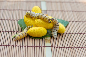 Close up Silk Cocoons with Silk Worm