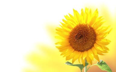 Fototapete - Horizontal banner with sunflower