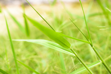 Gree grass with blur background
