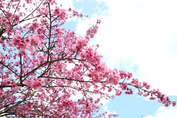 Cherry Blossom or Pink Sakura flower on blue sky background of Thailand