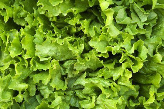 Pile of fresh organic letucce heads. Harvest heap of freshly cut green salad leaves at local farmers market. Clean eating concept. Healthy vegeterian dietary food. Background, close up, top view.