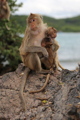 Family of monkey – mother and child