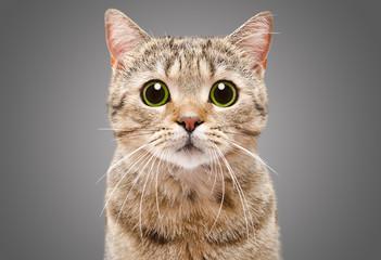 Portrait of a beautiful cat Scottish Straight closeup on a gray background