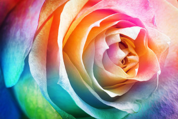 Beautiful multicolor roses flower for floral background