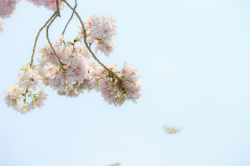Cherry Blossom of Tianyuan Palace in sunny day