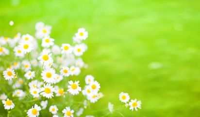 Green Summer background With Daisies flowers