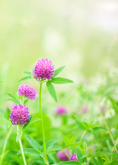 Bright summer spring background with clover flowers