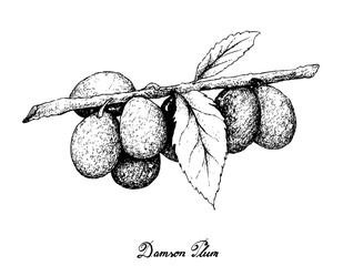 Hand Drawn of Damson Plum on White Background