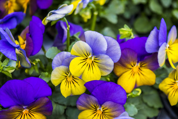 Two-colored pansies violet with yellow close-up. Violets in the spring forest. Violet pansies in the summer garden. Floral background of lilac pansies and green leaves.