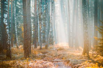 Birch spring forest