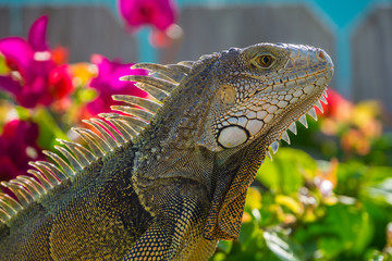 USA, Florida, Close up side view of giant reptile Iguana lizard with plants behind
