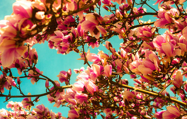 beautiful magnolia spring tree and bright blue spring sky, spring pink blooming tree, pink background