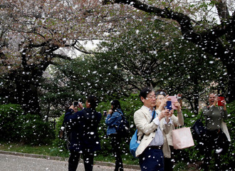 People film a shower of cherry blossoms at a park in Tokyo
