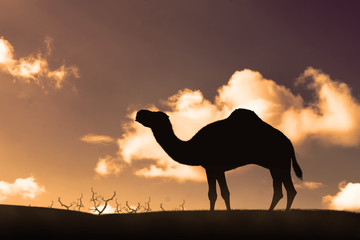 Silhouette of walking camel on the sand dunes