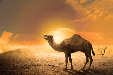 Camel on the sand dunes at sunset