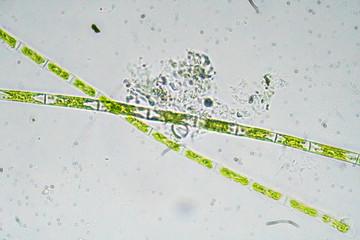 Algae under a microscope. The microscopic world.