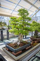 New York, NY / USA - April 2016: bonsai exhibition in Brooklyn Botanic Garden. Elegant bonsai tree in a wooden box closeup.