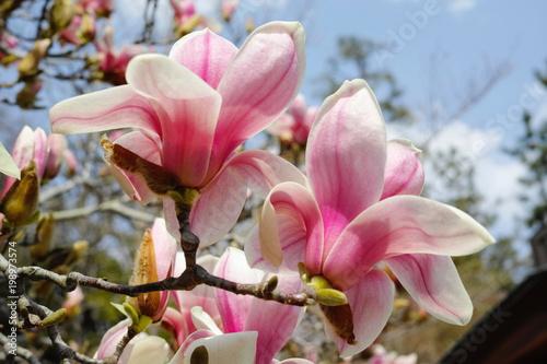 モクレン[木蓮]Magnolia quinque...